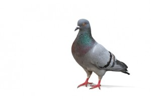 Pigeon problems in Kent